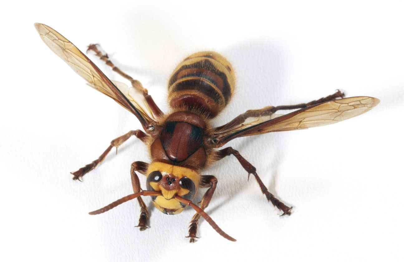Comment tuer un frelon - Comment tuer les moucherons ...